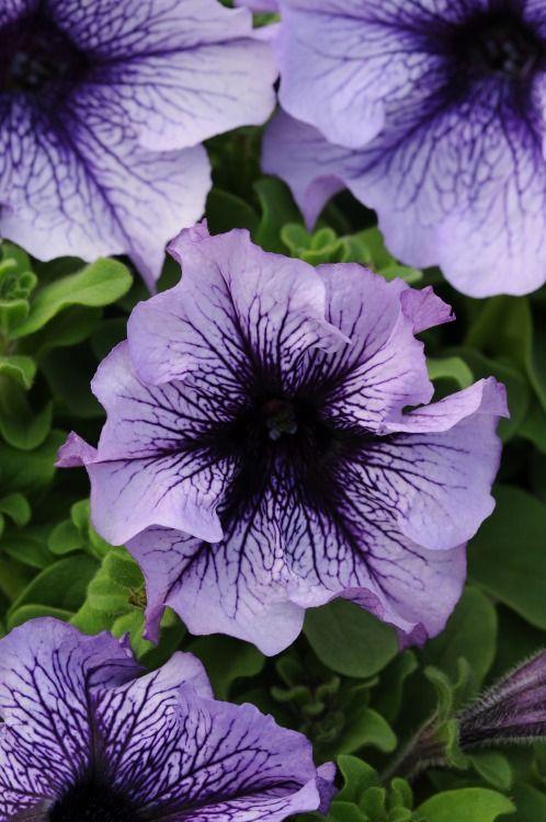 Petunia Grandiflora Daddy Blue Via Power Flowers Petunias Belles Fleurs Planter Des Fleurs
