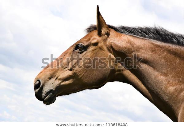 Chestnut Horses Head Profile Stock Photo Edit Now 118618408 Chestnut Horse Horses Horse Head