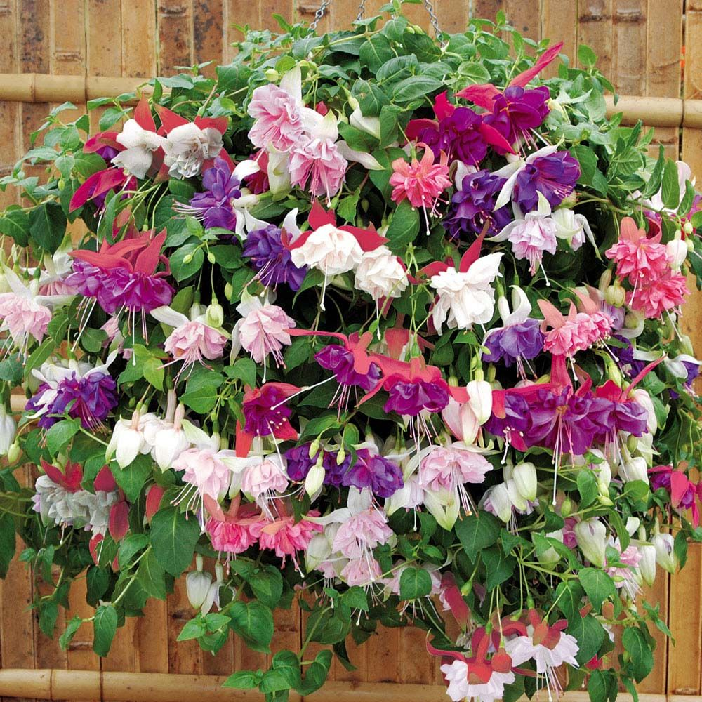 Patio | Fuchsia 'Five Star Giants Collection'  Half-hardy Perennial  Extravagant, large double blooms trail in abundance, covering your container in a sea of fantastic colour all summer long. Unrivalled for durability and weather resistance these are a must for your hanging baskets and containers.