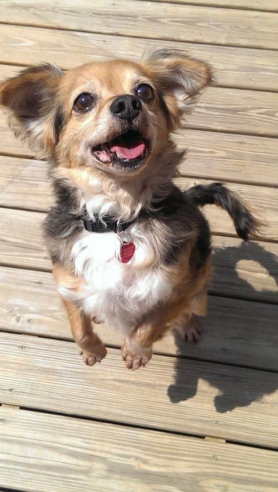 Adopt Pixel On Chihuahua Dogs Dogs Dog Search