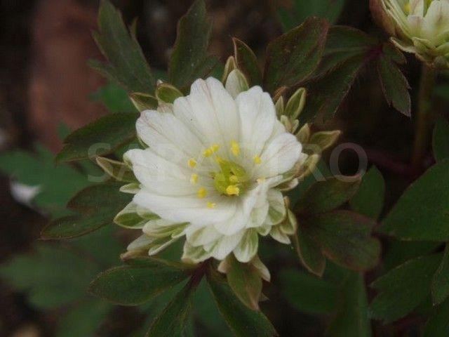 Anemone nemorosa Multiplicity Anemone Friends Pinterest