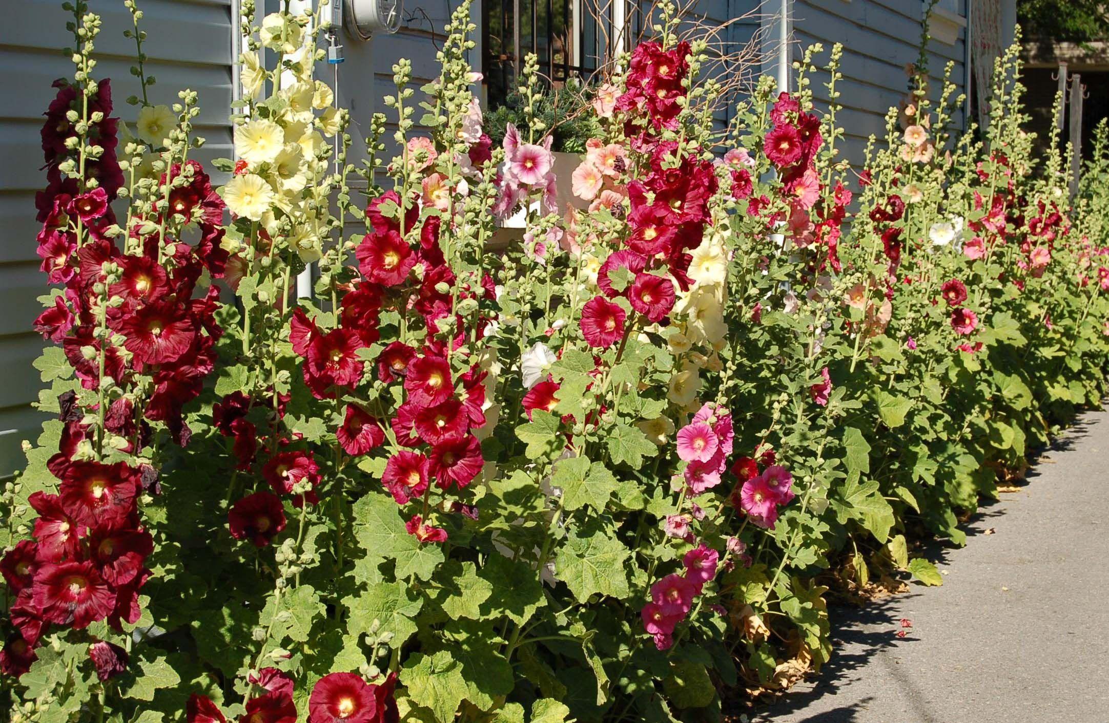 hollyhocks this year. . . Beautiful flowers