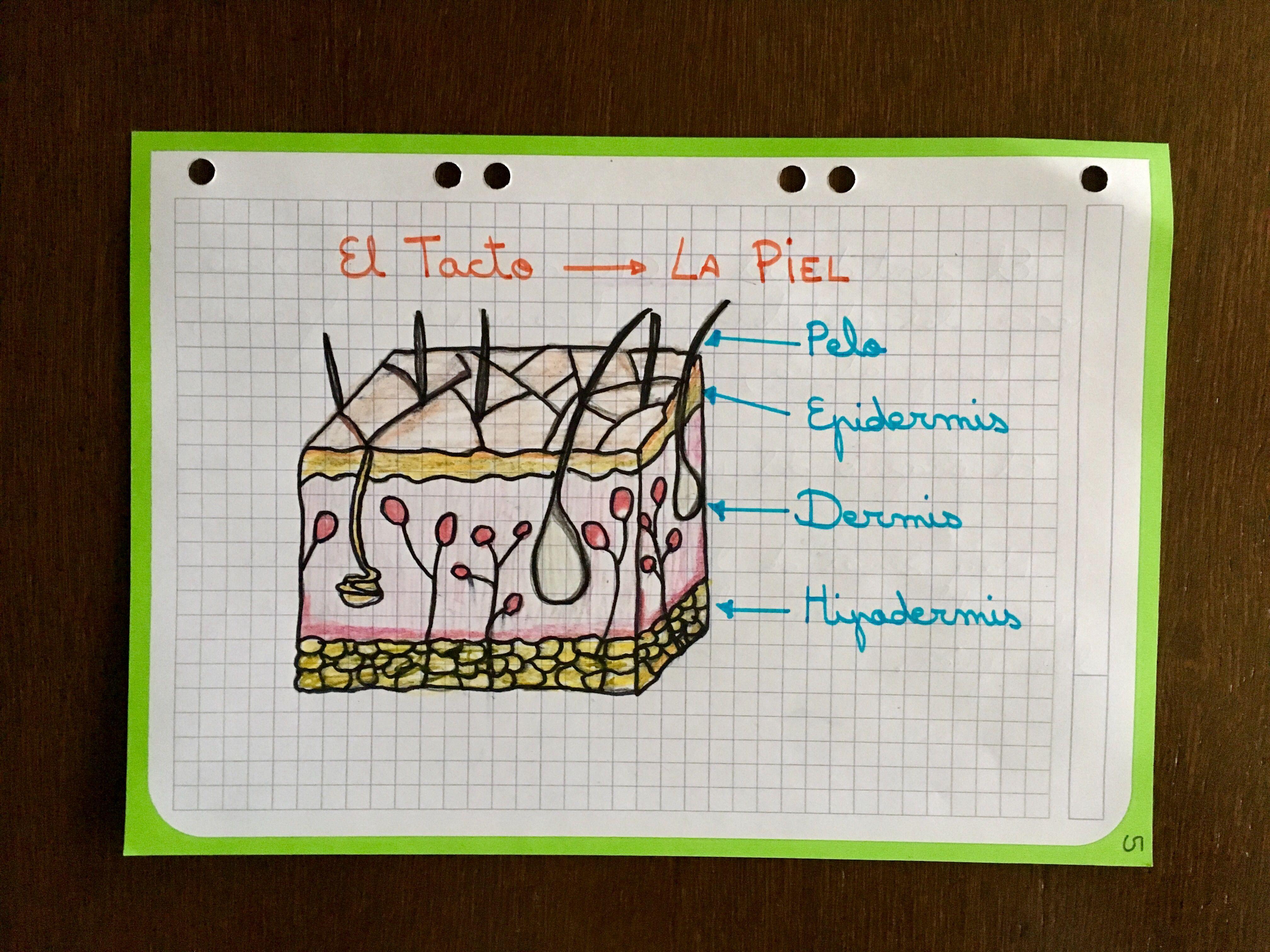 Los Sentidos El Tacto Y Las Partes De La Piel Mamasmolonas Apoyandoencasa Tel Educacion Anatomia Y Fisiologia Humana Ciencias Naturales Apuntes De Clase