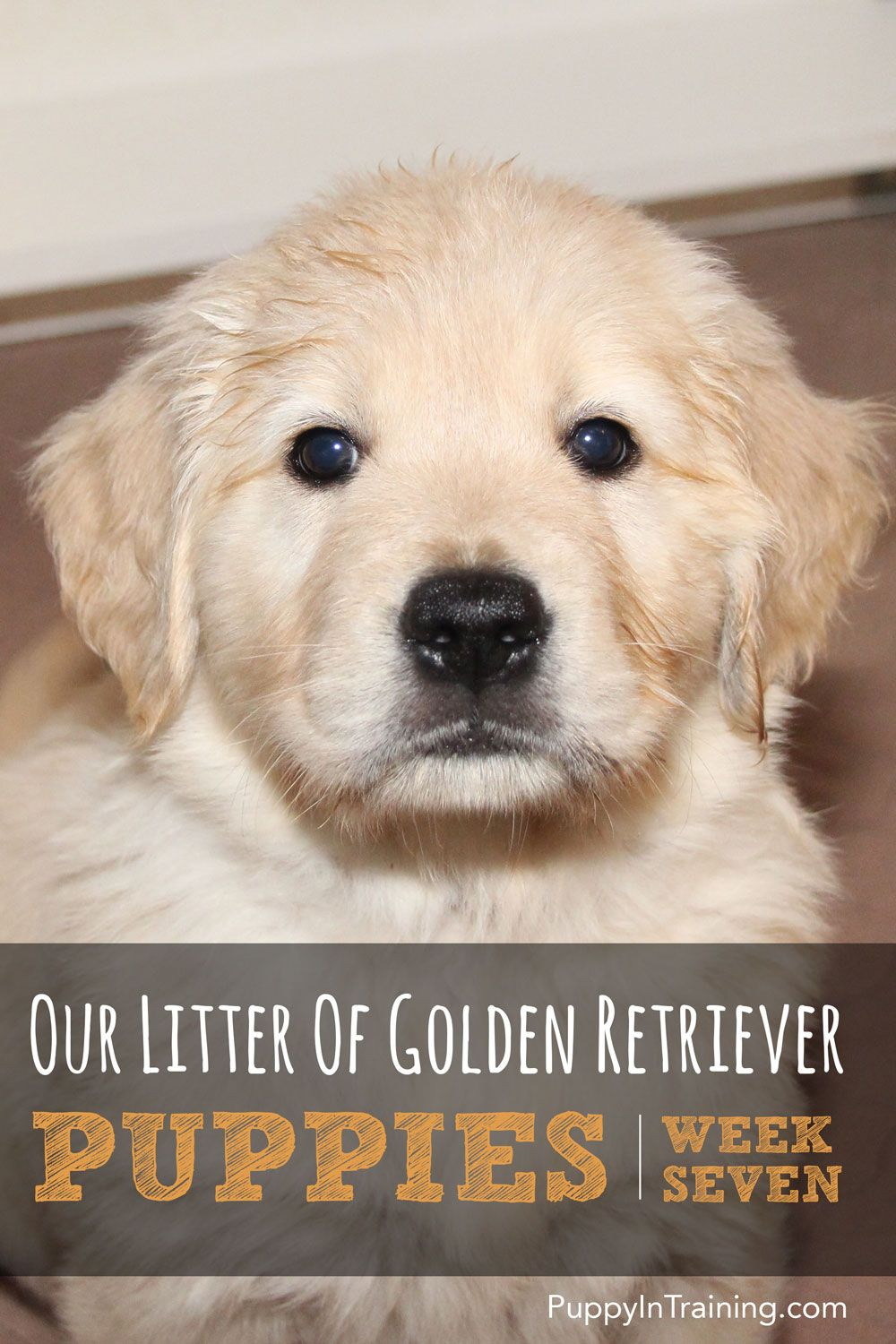Our Litter Of Golden Retriever Pups Week 7 Labrador Retriever