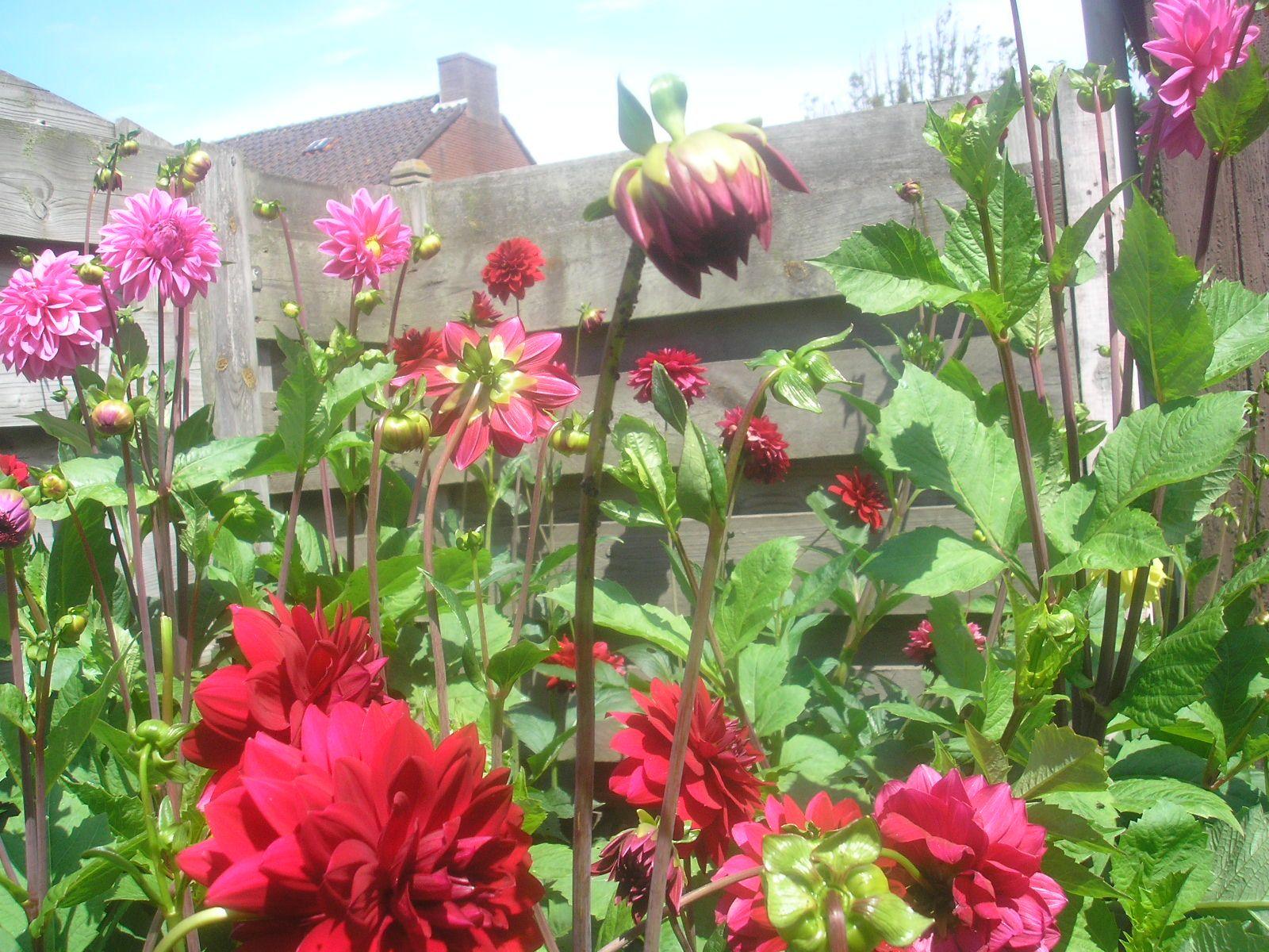 in our backyard beautiful dahlias pinterest dahlia and backyard