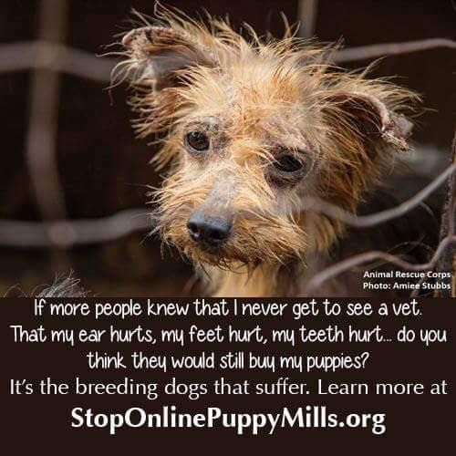 STOP PUPPY MILLS! Is this where your Yorkie came from? Do