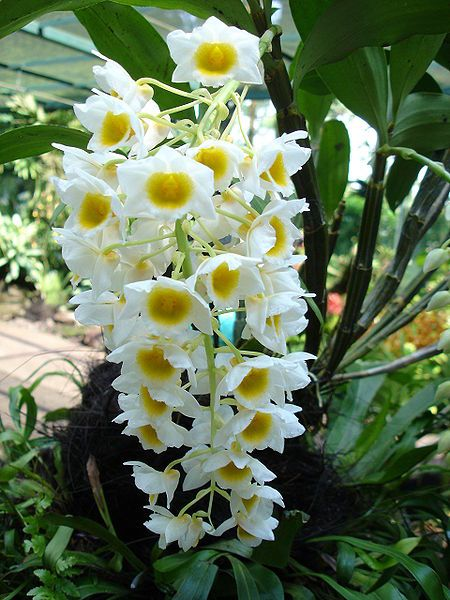 How To Take Care Of Dendrobium Orchids Dendrobium Orchids Beautiful Orchids Growing Orchids