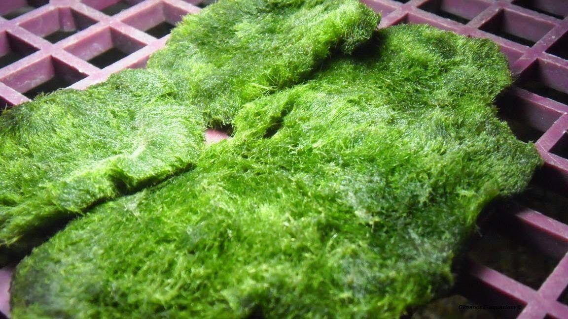 Marimo Malaysia Marimo Tips Making Marimo Moss Carpet From Decaying Marimo