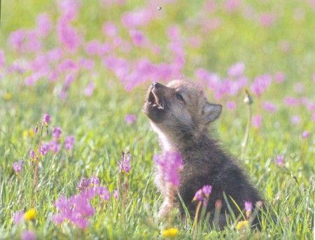 Awwooooo Wolf Pup Wolf Photos Baby Wolf