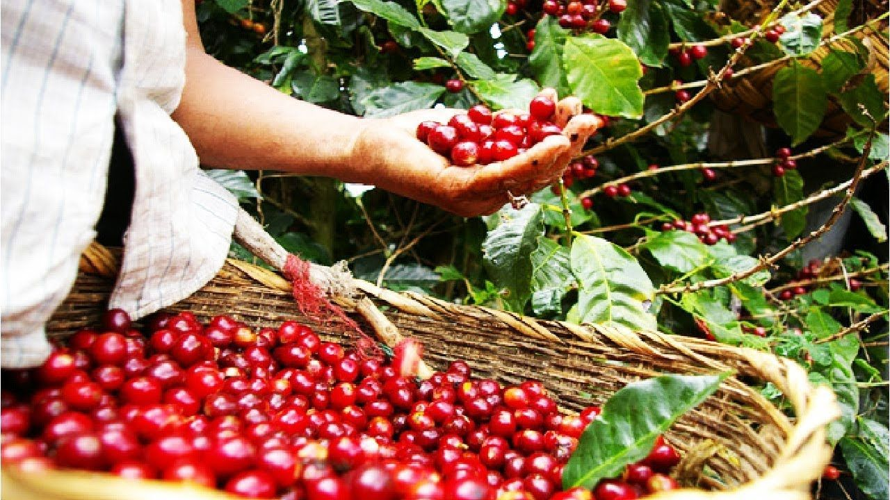Beautiful Asia Coffee Farm And Harvest Coffee Cultivation And Coffee B Coffee Farm Coffee Plant Harvest
