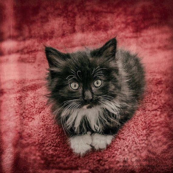 Long Haired Black And White Tuxedo Kitten By Inlightfulimages 14 00 Black And White Tuxedo Tuxedo Kitten White Tuxedo