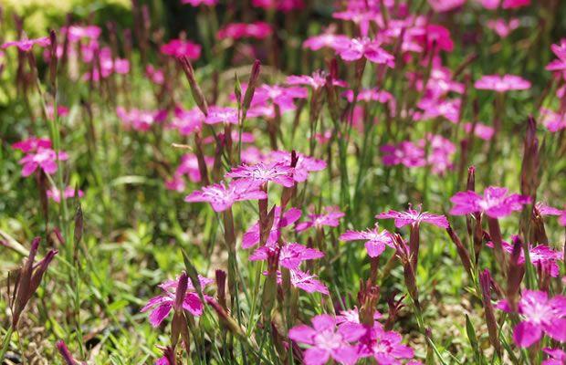 Foto Dianthus Deltoides - Heide-nelke, Stein-nelke, Felsennelke ... Nelken Im Garten Pflanzen Arten Blumen Tipps