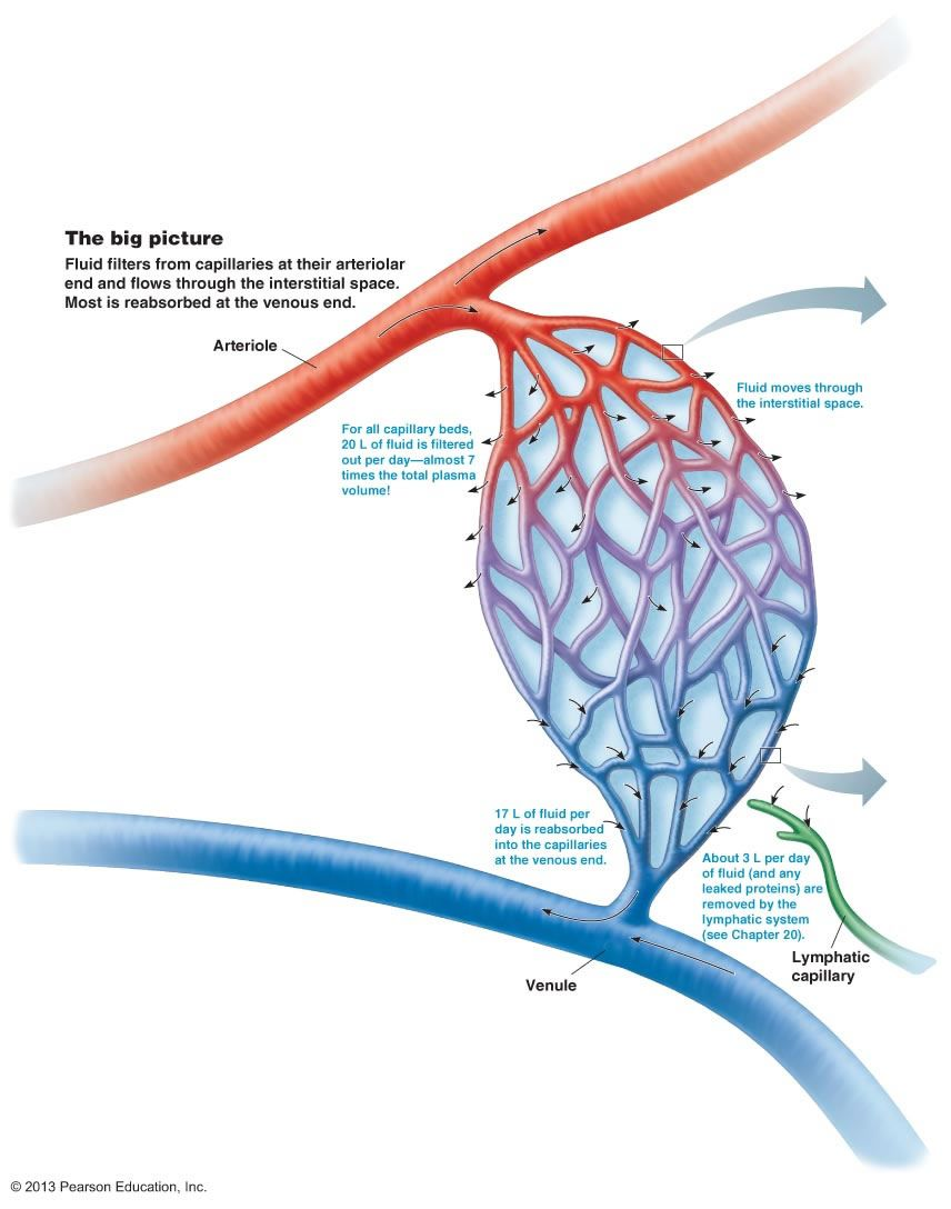 Circulatory System Capillary Bed Diagram Manual Guide