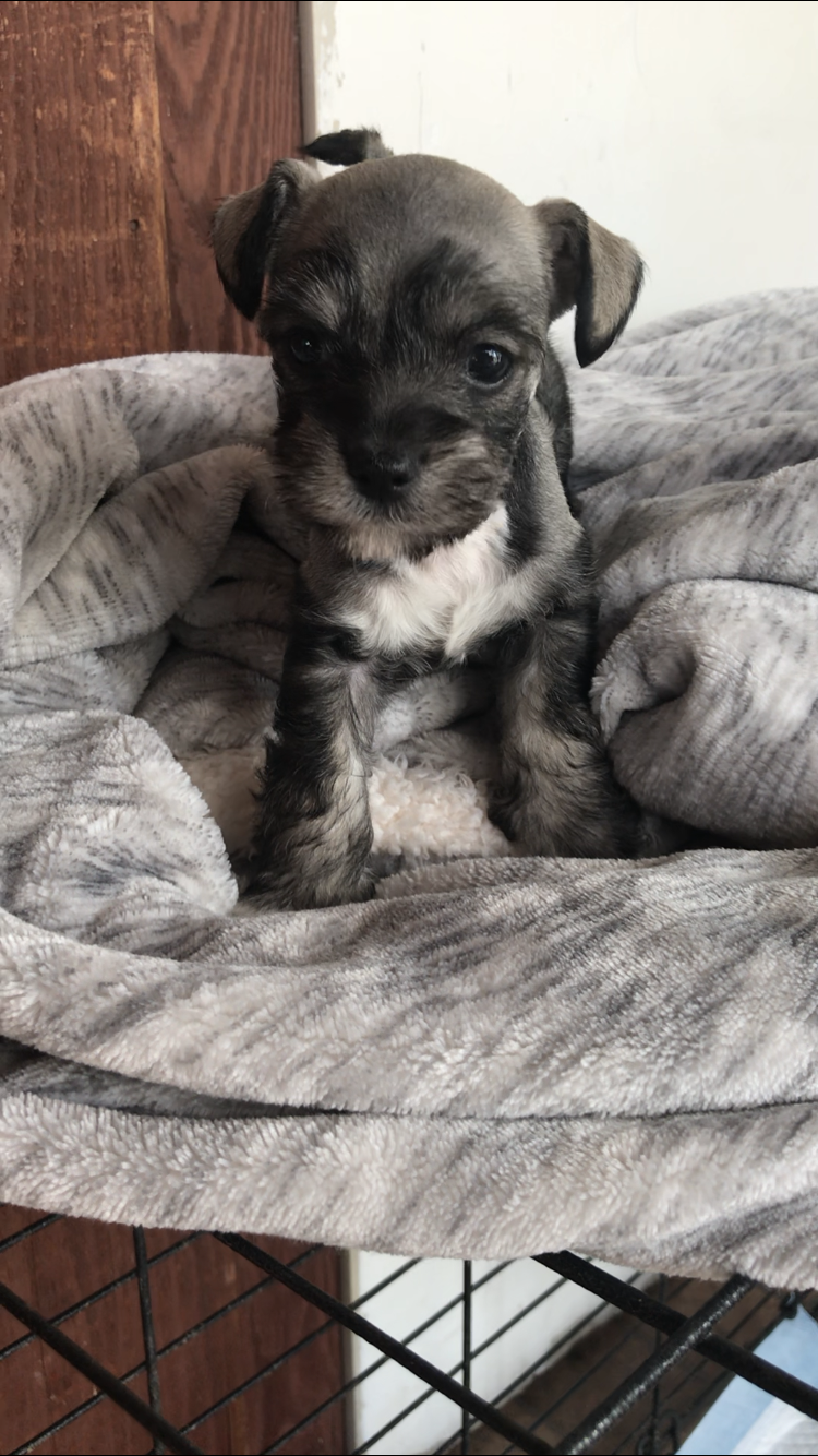 Rocky A Devoted Male Miniature Schnauzer Puppy For Sale From San Diego California Schnauzer Schnauz Schnauzer Puppy Puppies Miniature Schnauzer Puppies