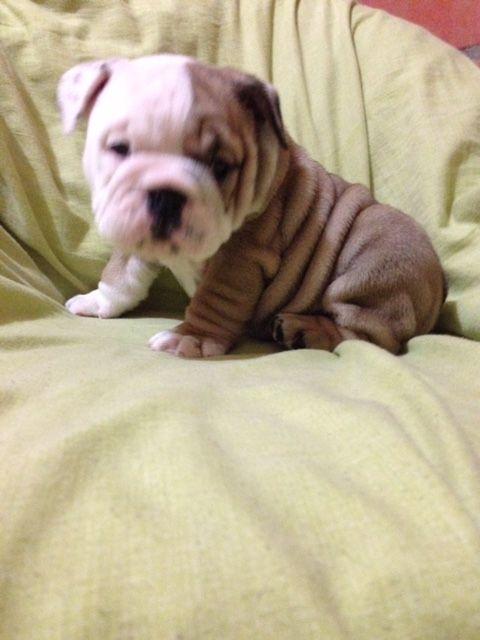 Bulldog Puppy For Sale In Orlando Fl Adn 29235 On Puppyfinder