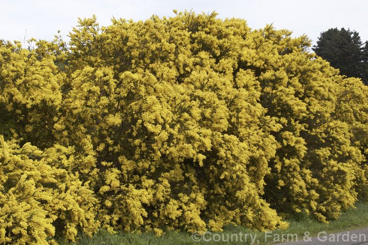 Acacia Pravissima Photo In 2020 Small Trees Acacia Shrubs