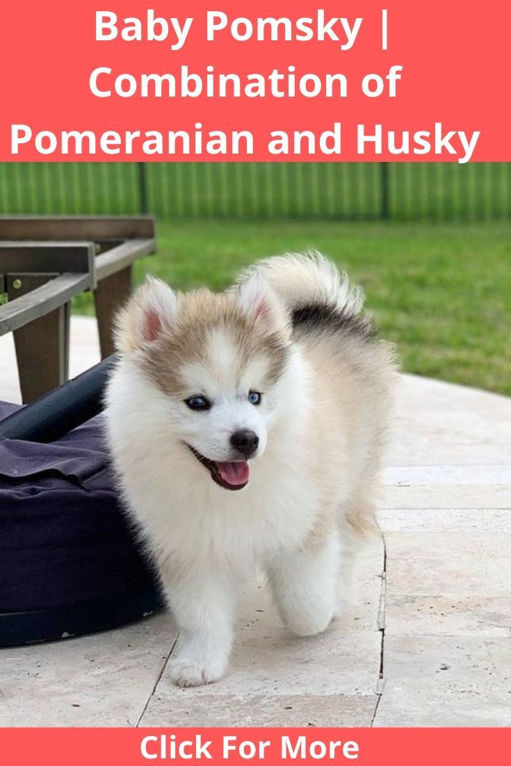 Adult - Read About Pomsky Adult Before Buying in Delaware USA