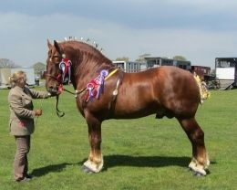 History and heritage of the Suffolk Punch Trust