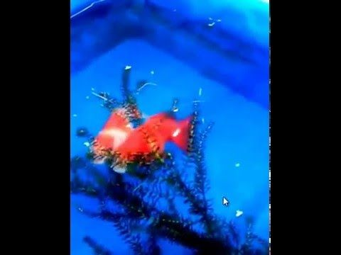 How To Breed Goldfish Step By Step Red White Ryukin Breed
