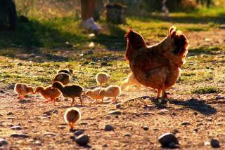 Educar desde la familia: Comer huevos sanos ¿una utopía?