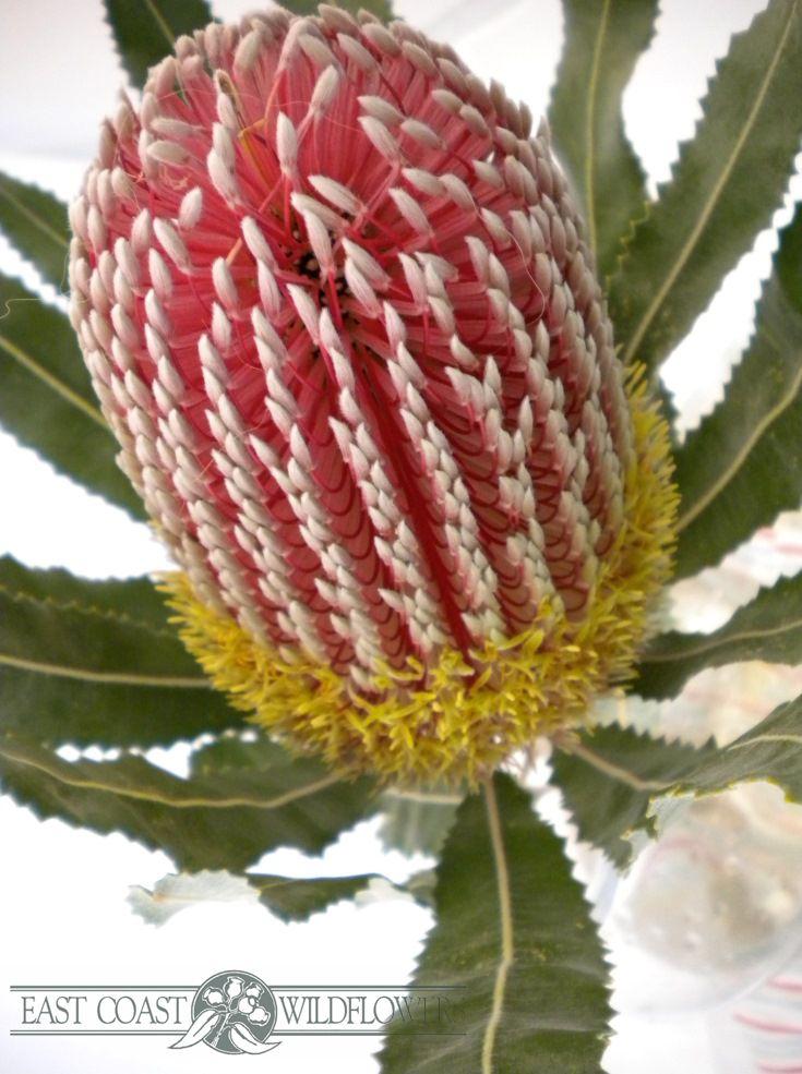Banksia Menziesii Red Available Mar Sept Aka Firewheel Port Wine Raspberry Frost Gorg Australian Flowers Australian Native Flowers Australian Wildflowers