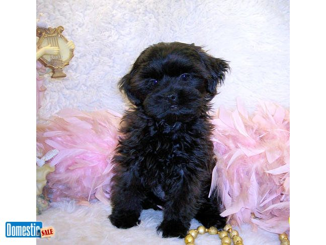 Teacup Shih Poo Puppies For Sale Black Black White Shih Poo Puppies For Sale 600 800 Shih Poo Puppies Are The Be Shih Poo Shih Poo Puppies Puppies For Sale