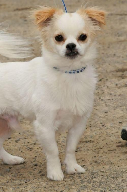 Jimmy Is An Adoptable Pekingese Chihuahua Dog In Lambertville Nj Note Jimmy Needs A Female Only Home He Does Not Homeless Pets Pekingese Dogs Chihuahua Mix
