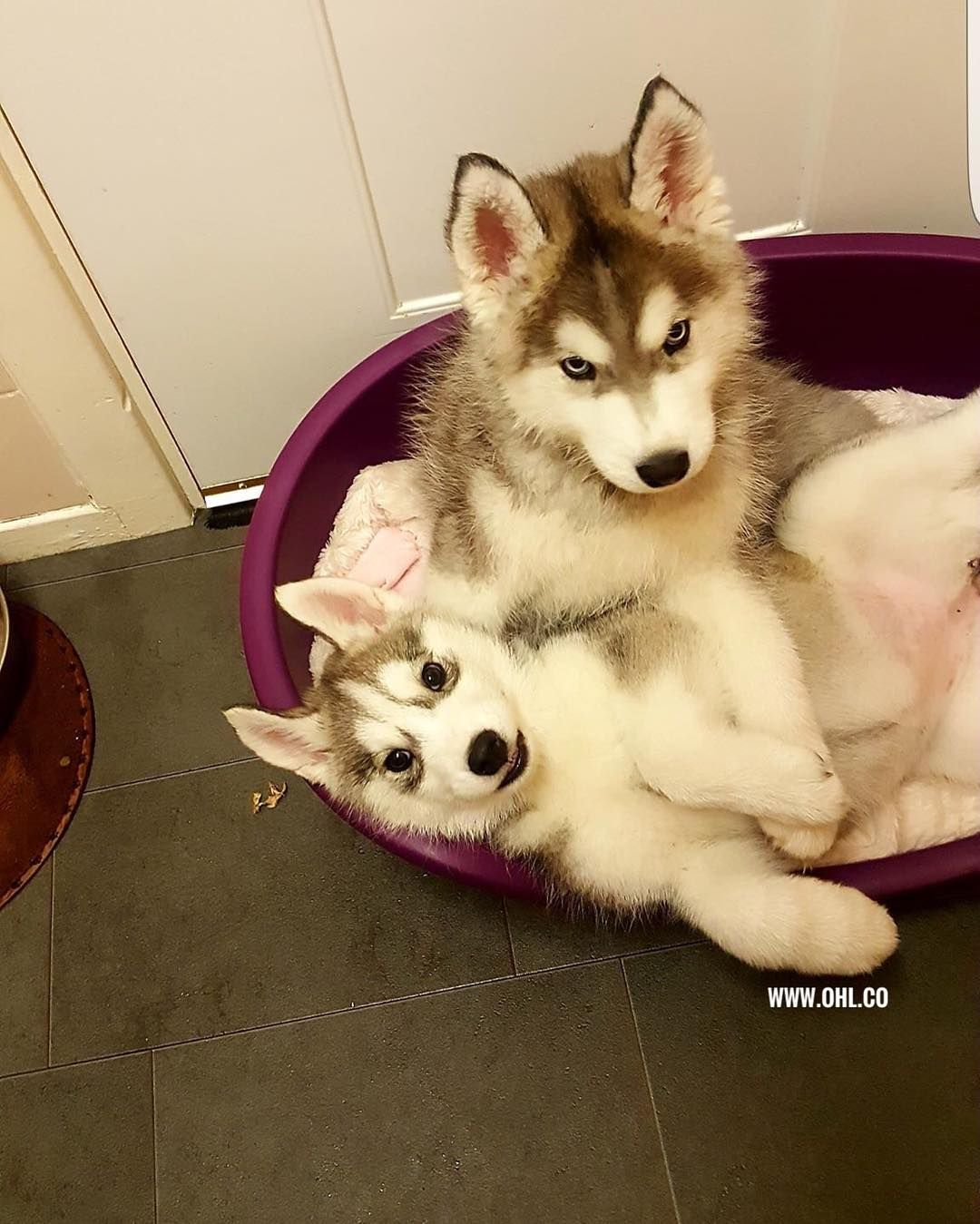Officialhuskylovers Husky Puppy Dogs Ohl Husky Lovers