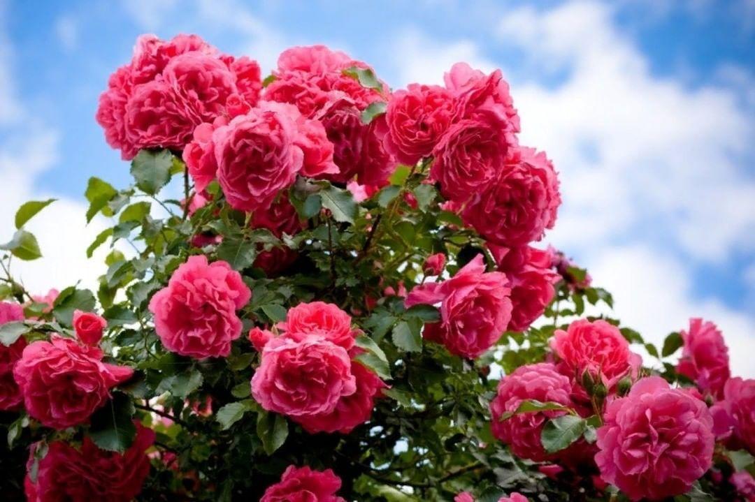 Картинка с кустом розы