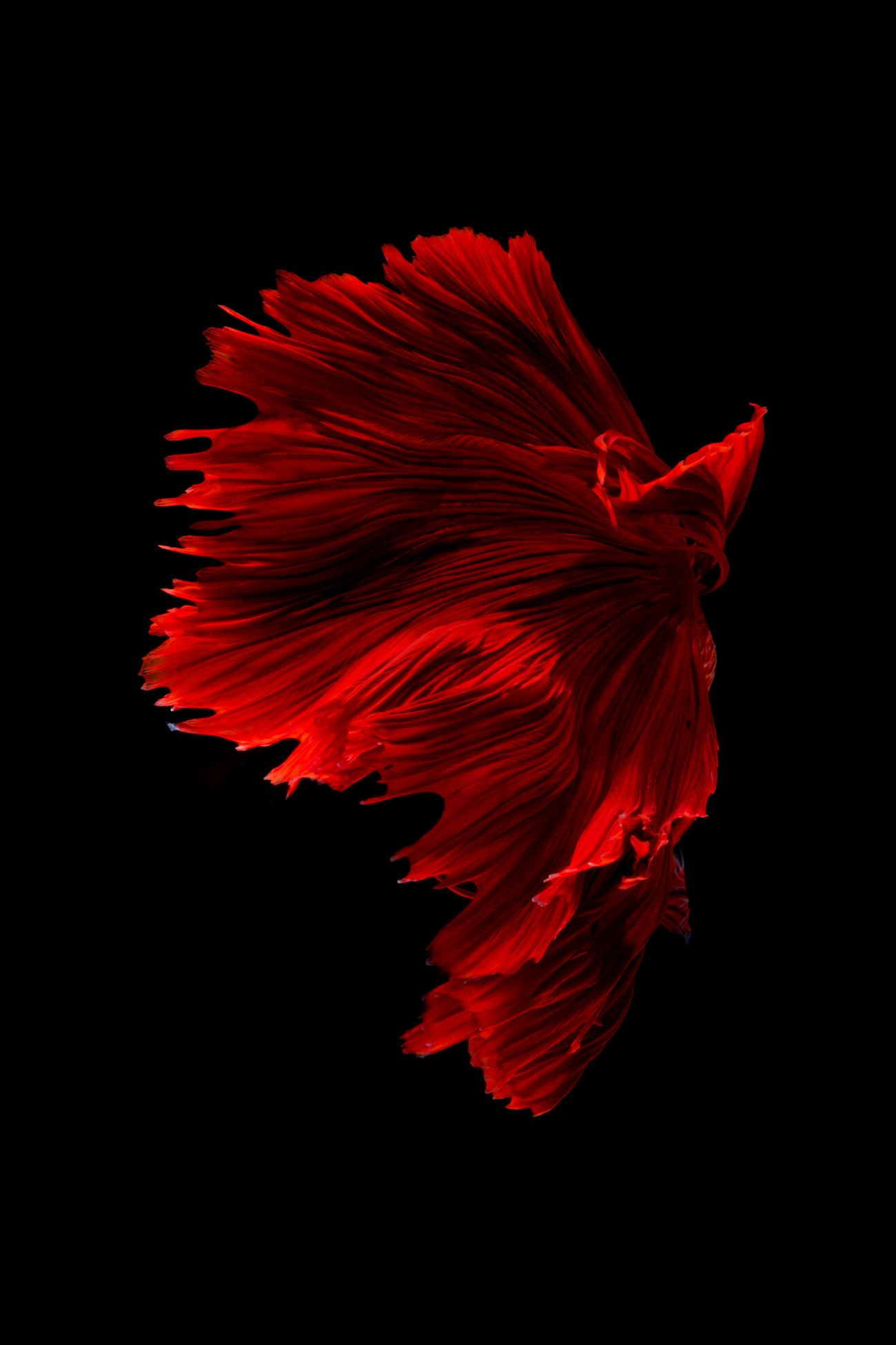 Red half-moon siamese fighting fish over black background Africa ...