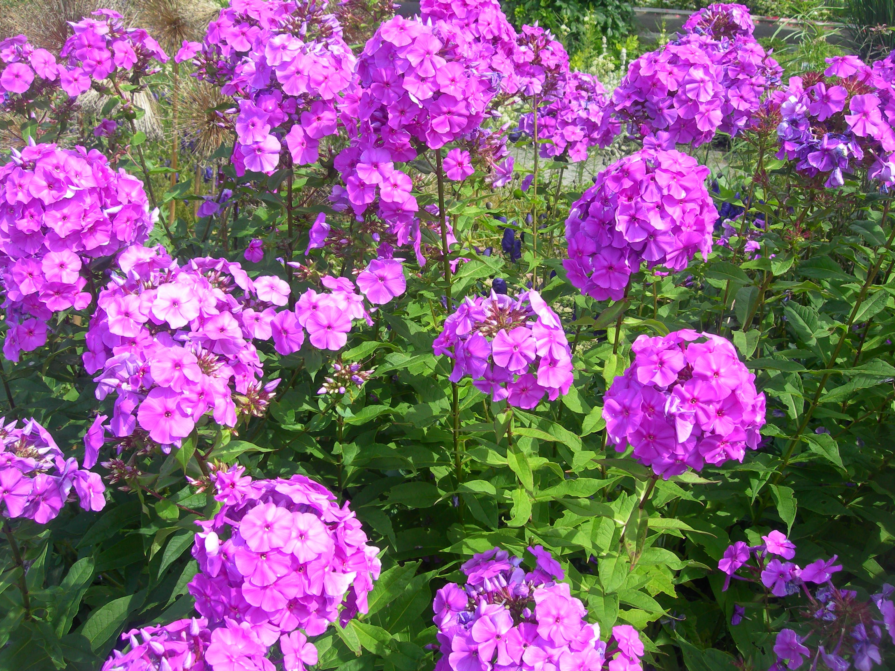 Garden Phlox Plant   Make Sure To Visit GardenAnswers.com And Download Our  Free Plant · Phlox FlowersLove FlowersSummer ...