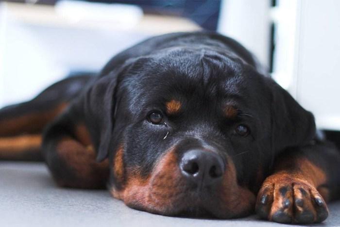 ¿Por qué llora mi perro? Cachorros rottweiler, Perros