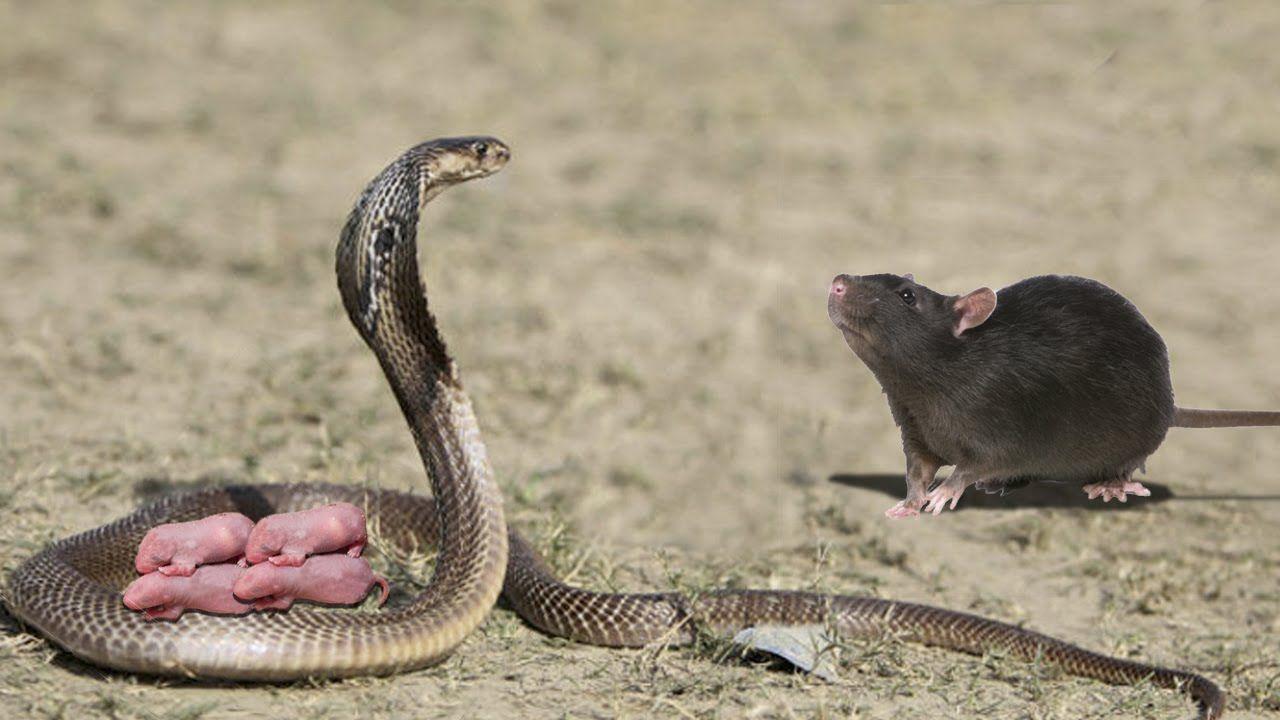 смешные картинки змея и крыса наступлением менопаузы потеря