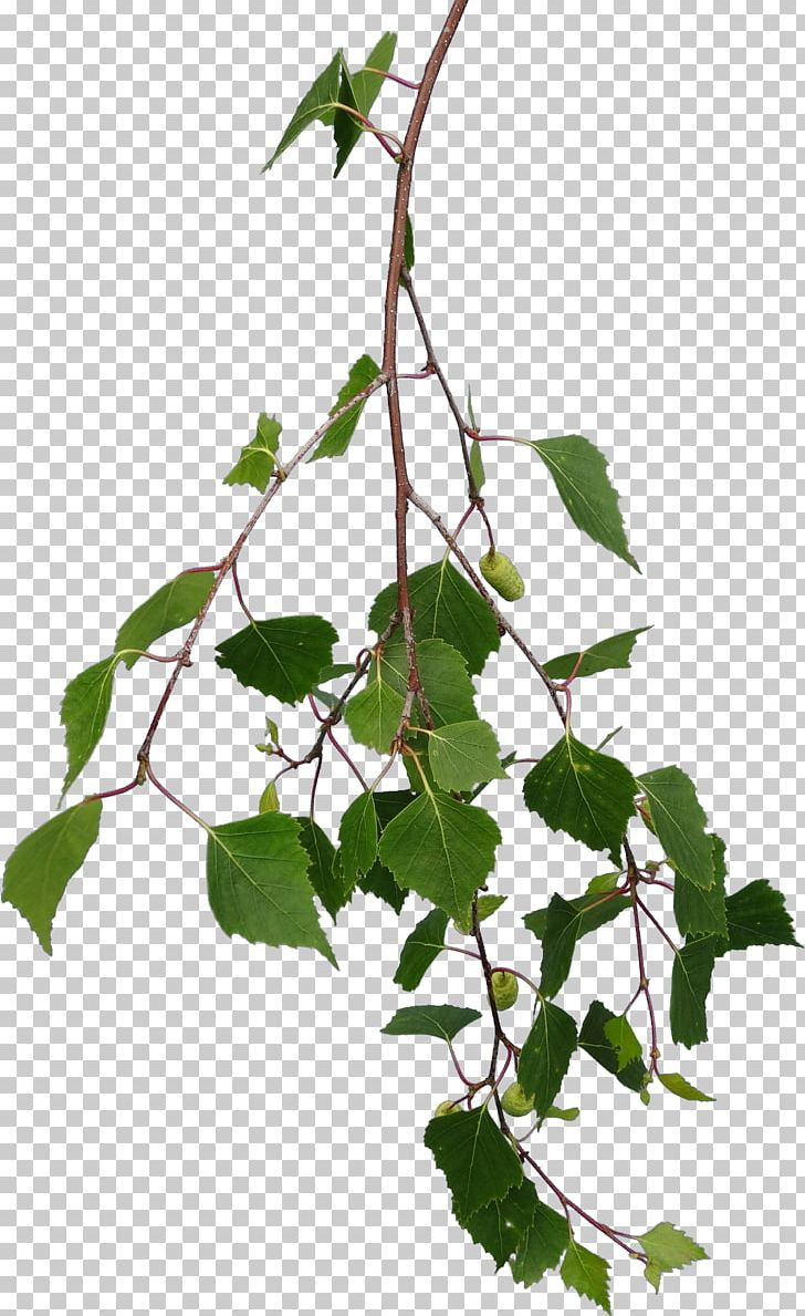 Branch Tree Leaf Texture Mapping Png Clipart Birch Bitmap Branch Branches Flowering Plant Free Png Down Leaf Texture Birch Tree Tattoos Birch Tree Leaves