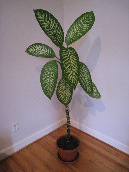 pretty dieffenbachia house plant. Dumb Cane Dieffenbachia  A common household plant a tropical that is among the most poisnous in world CHewing on any part of this causes 10 Common But Deadly Plants plants deadly