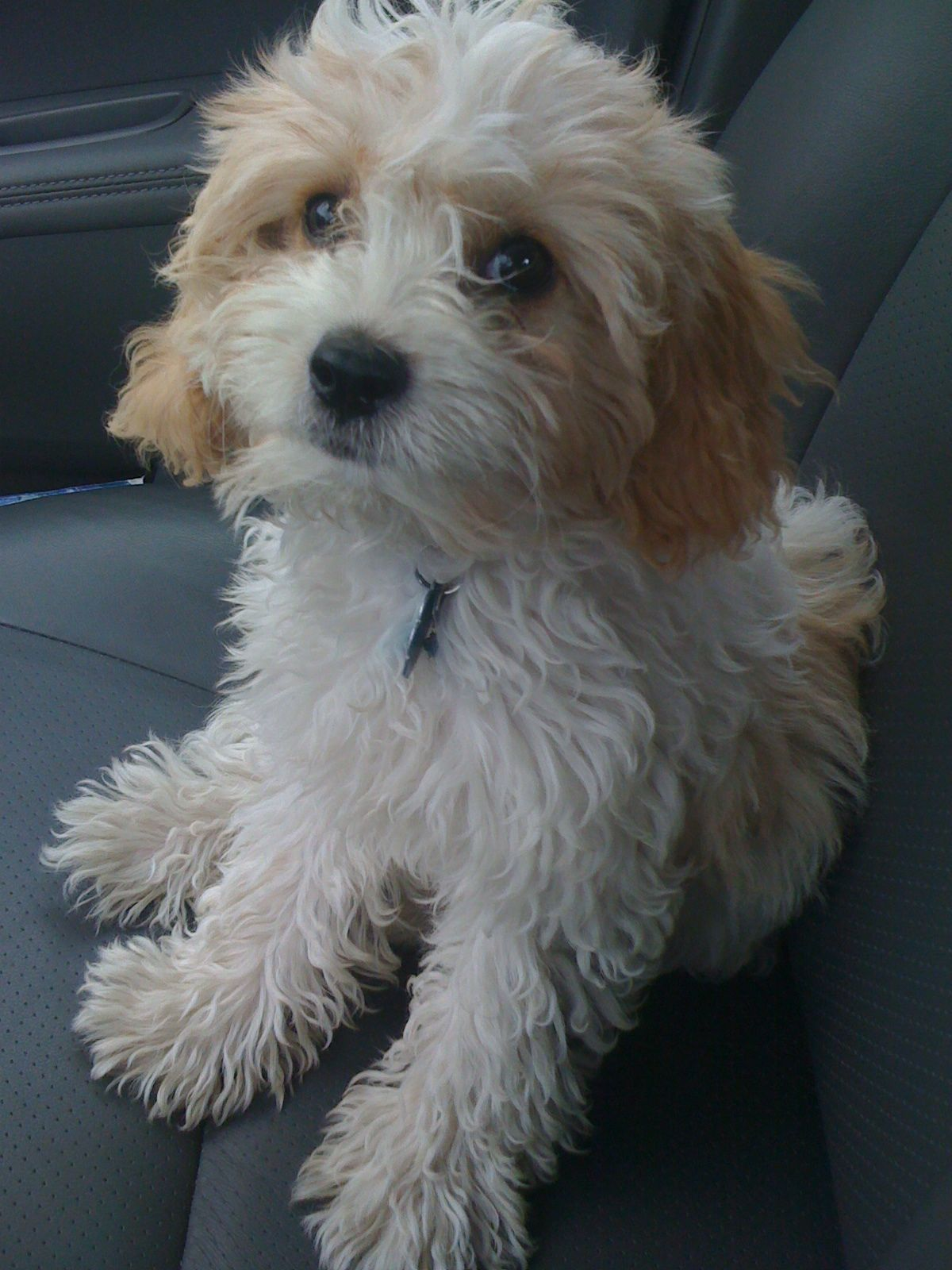 Where is the best place to buy a cavapoo puppy