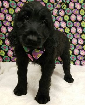 Goldendoodle Puppy For Sale In White Sulphur Springs Wv Adn