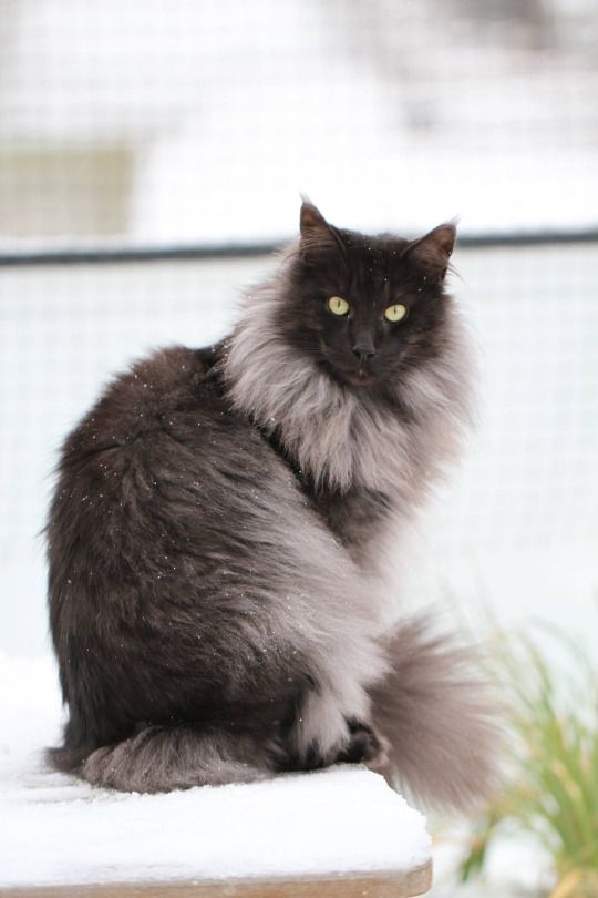 Log In Black Smoke Cat Norwegian Forest Cat Cat Breeds