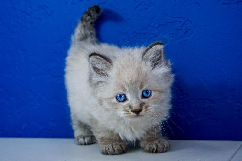 Ragdoll Kittens For Sale Near Me In 2020 Ragdoll Kittens For