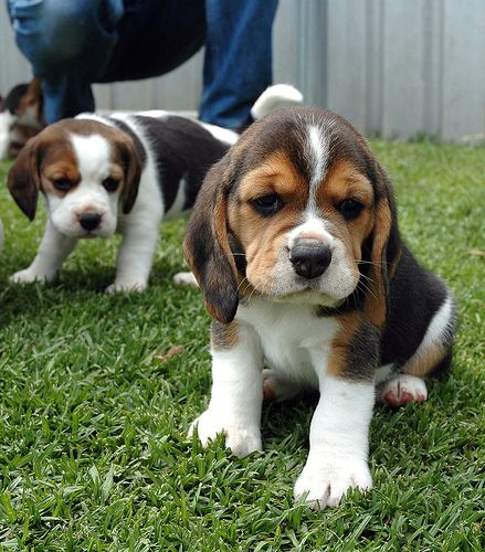 Neil And Pebbles Beagle Dog Breed Beagle Puppy Dog Breed Info