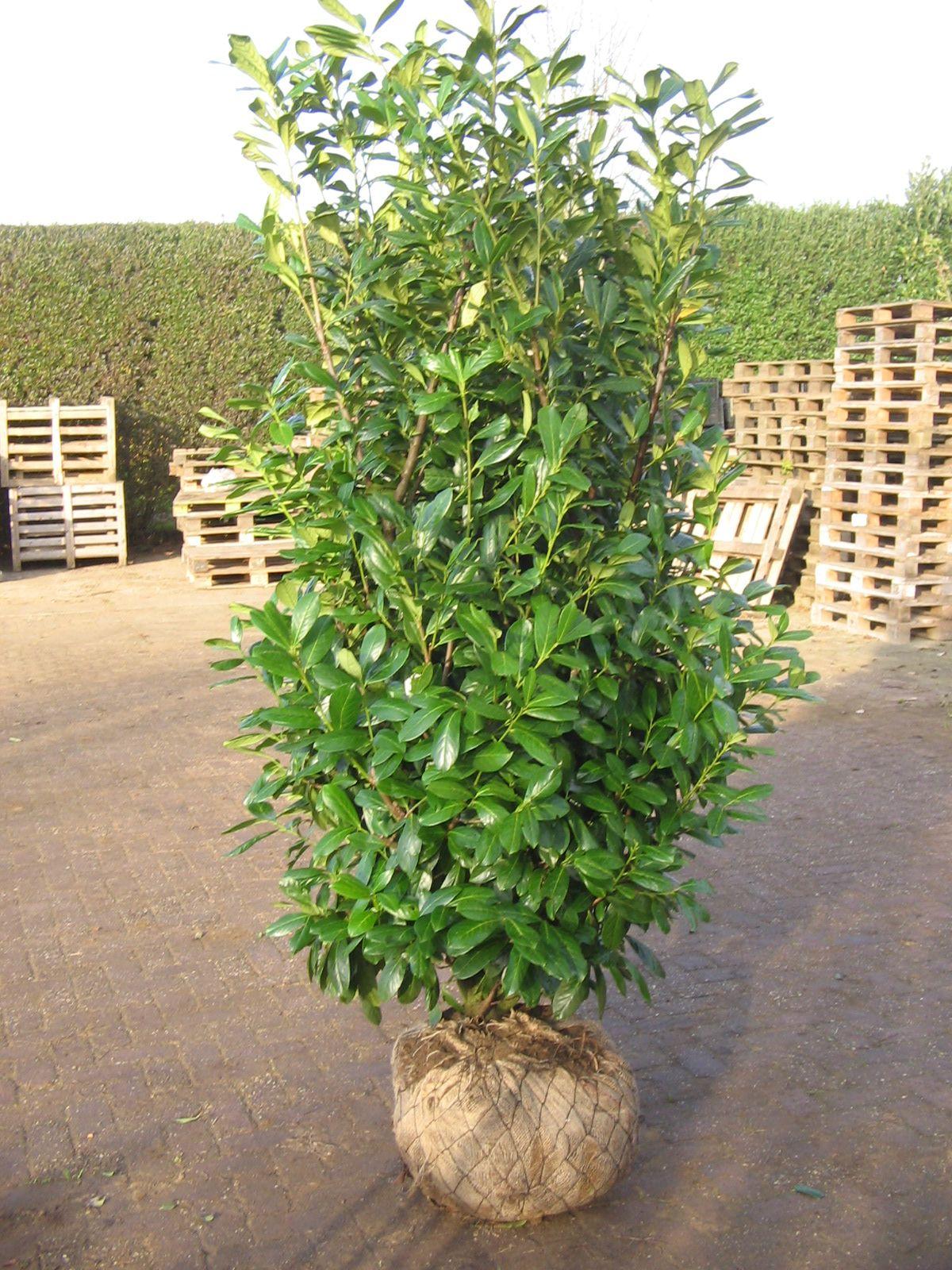 prunus laurocerasus 39 novita 39 screening options pinterest prunus plants and gardens. Black Bedroom Furniture Sets. Home Design Ideas