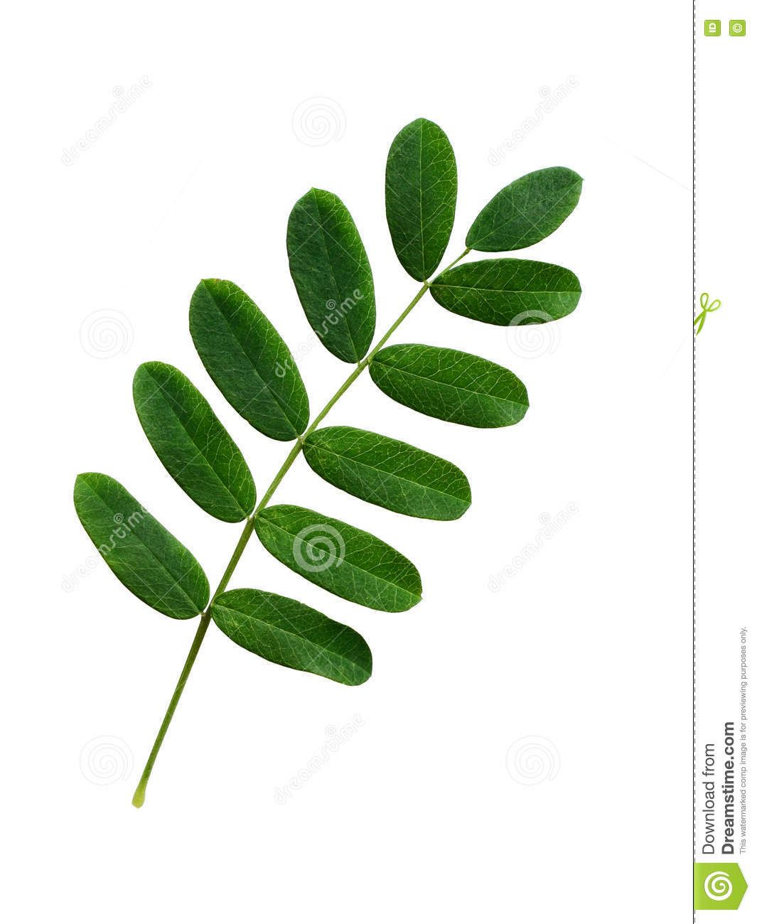 Image Result For Acacia Leaves Tattoos Leaves Plant Leaves Acacia