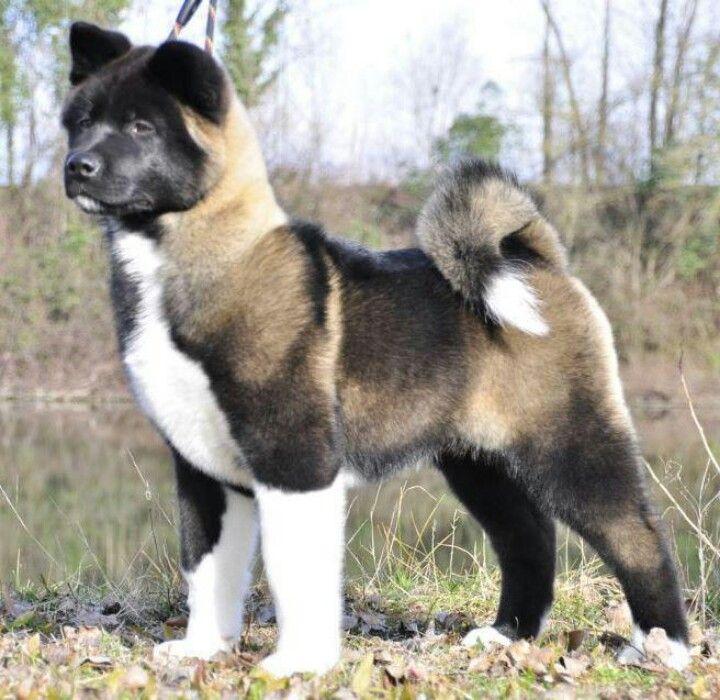 American Akita Dog Akita Animal Akita Dog Akita Puppies