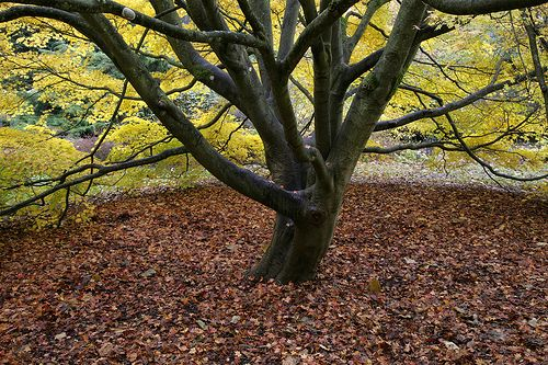 Tree Beauty at wakehurst place nt gdns sussex