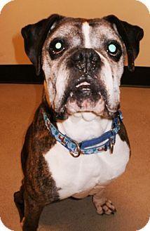 Bellingham, WA Boxer Mix. Meet Jack a Dog for Adoption