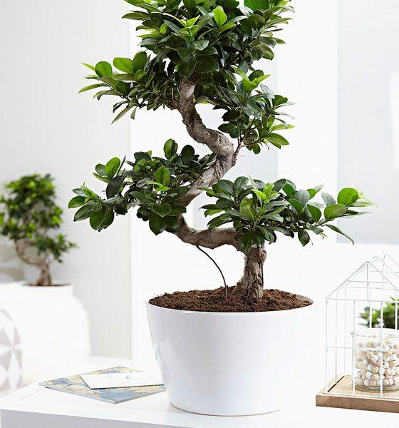 bonsai xl ficus indoor plants
