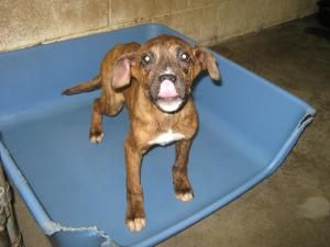 KOTY is an adoptable Boxer Dog in Summersville, WV. Koty