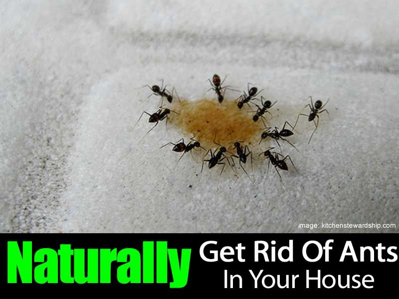 Homemade Ant Repellent Spray And Other Natural Solutions Ant Tea