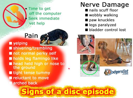 Dodgerslist Canine Back Problems All Things Ivdd More Info And