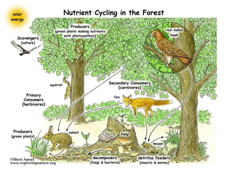 Learn about food webs of Forest